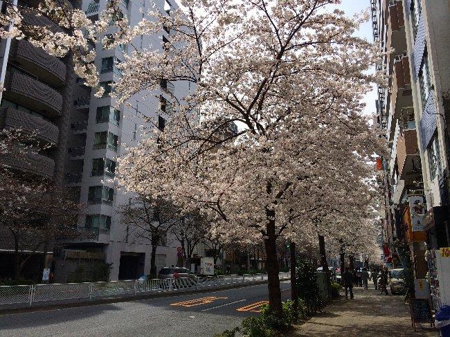 広尾〜恵比寿も桜満開。